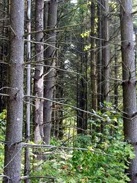 image: Timber Trees
